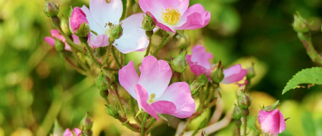 rosenolie